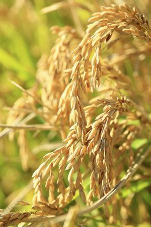 France, Bouches du Rhone (13), parc naturel regional de Camargue, Arles, Le Sambuc, recolte de riz avec Frederic Bon