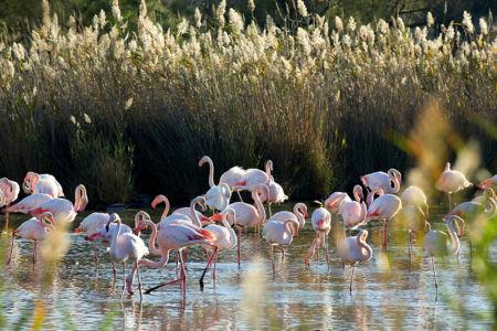 France, Bouches du Rhone (13), parc naturel regional de Camargue, Saintes Maries de la Mer, Parc ornithologique du Pont de Gau, flamants rose