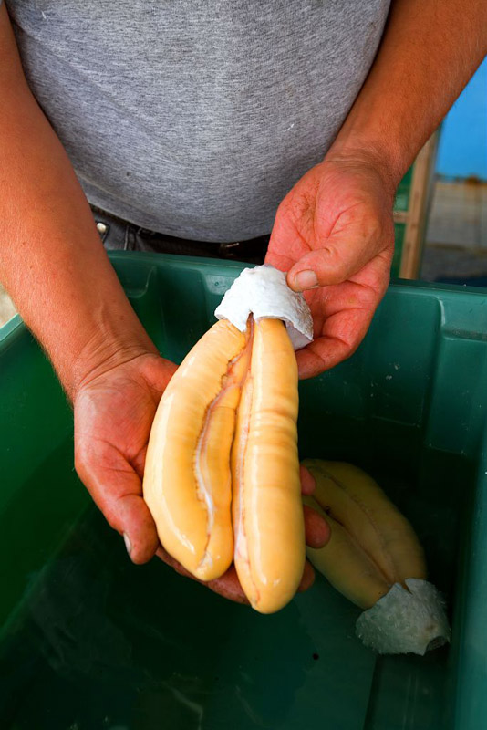 France, Bouches du Rhone (13), Martigues, canal de Caronte, peche aux mulets (muges) a l'aide d'un carrelet (calens en provencal) pour la poutargue (boutargue) caviar de Mediterranee, oeufs de mulet dore