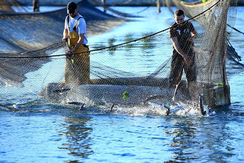 France, Bouches du Rhone (13), Martigues, peche aux mulets (muges) a l'aide d'un carrelet (calens en provencal) pour la poutargue (boutargue) caviar de Mediterranee