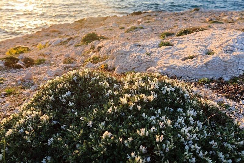 France, Bouches du Rhone (13), Parc national des Calanques, Marseille, 8e arrondissement, quartier Les Goudes, Anse de La Maronaise, Astragale de Marseille (Astragalus tragacantha)