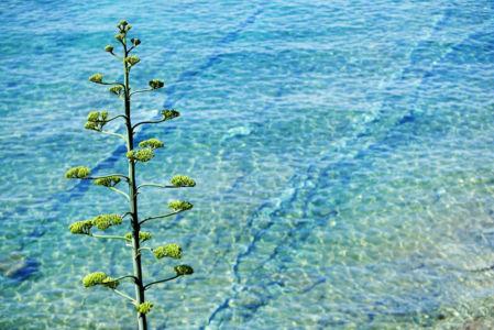 Fleurs d'agave, Le liouquet, La Ciotat, Bouches du Rhone (13), France