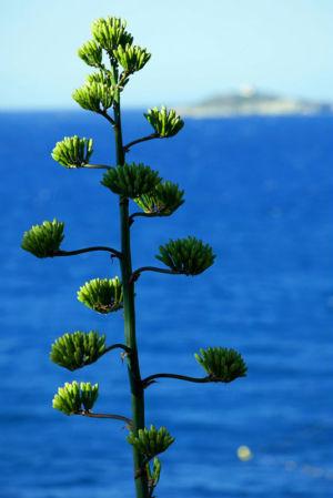France, Var (83), Sanary sur Mer, fleur d'agave americana Marginata