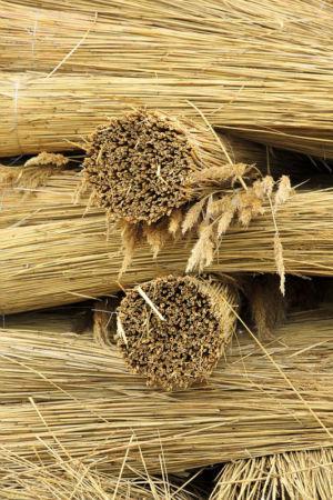 France, Bouches du Rhone (13), parc naturel regional de Camargue, Saintes Maries de la Mer, recolte de sagne